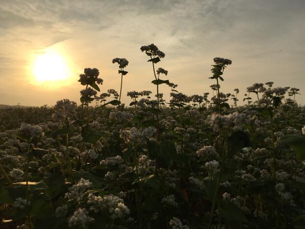 福井産夏の新そばの花が満開で、虫を呼ぶ独特の蕎麦の花の香りが広がっています。
