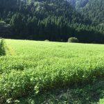 [2016年秋そば生育状況] 池田町(福井在来種)のそば圃場の様子。