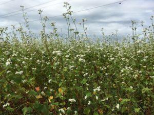 [2016年秋そば生育状況] 坂井市丸岡町(丸岡在来種)のそば畑は、白い花が満開で見頃です。