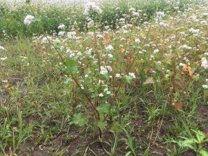 平成29年(2017年)福井「夏の新そば」花満開の蕎麦畑に恵みの雨が降っています。