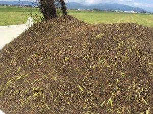 平成29年(2017年)越前ふくい「夏の新そば」の収獲が始まりました。