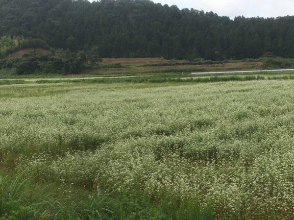[福井県秋そば生育状況2017]永平寺町のそば畑は、播種後の大雨の被害がかなり見られました。