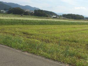 [福井県秋そば生育状況2017]丸岡在来種を栽培する坂井市丸岡町のそば畑は、播種時期のズレたソバが育っています。