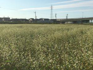 [福井県秋そば生育状況2017]福井市北部のそば畑では、播き直しによる生育のズレと大雨で茎が赤く染まっています。