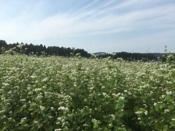 [福井県秋そば生育状況2017]丸岡在来種を栽培するあわら市のそば畑は、小高く水はけの良い丘陵地で割と良さそうです。