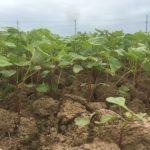 福井県産 夏そばの播種が福井市・坂井市で始まり芽が出始めました。