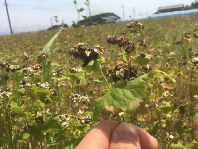 ふくい夏の新そばの収穫が始まり、実入りが良く甘みのある夏ソバが期待できます。