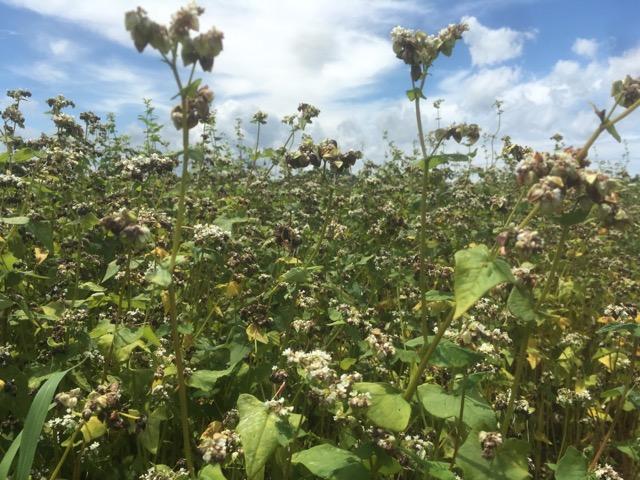 【2018年ふくい夏の新そば粉】大雨と気温高による穂発芽で、今後の夏新そば収穫は絶望的状況に。
