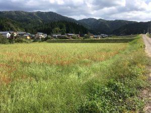 30年度 福井県産新そば生育状況:大型台風通過後の永平寺町のそば畑について