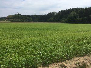 【令和元年】福井夏新そばの生育状況について、福井市からあわら市を見てきました。