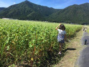令和元年 福井県大野市に広がるソバ畑(大野在来種)。