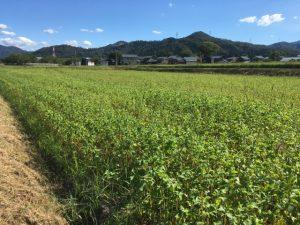 令和元年 福井県南越前町のそば畑(今庄在来種)。