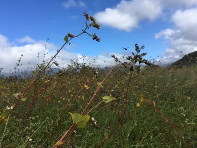【台風19号の被害状況】永平寺在来種を栽培する永平寺町のそば畑。