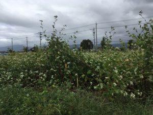 【台風19号の被害状況】大野在来種を栽培する大野市と勝山市のそば畑。