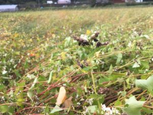 台風19号により【丸岡在来種】を栽培する坂井市丸岡町とあわら市の被害状況について。