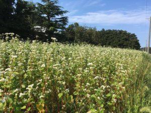 令和元年 坂井市丸岡町(丸岡在来)、あわら市(芦原在来)のそば圃場は満開で独特の香りが充満しています。