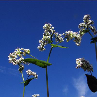 希少価値の高い高級原料「在来種そば」の花【無農薬・有機栽培】カガセイフン