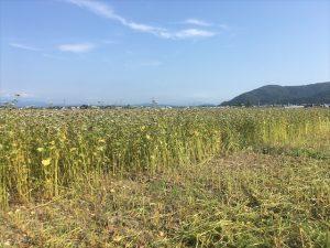 【福井夏そば2020】キタワセを栽培する夏の新そばの収穫が始まりました。