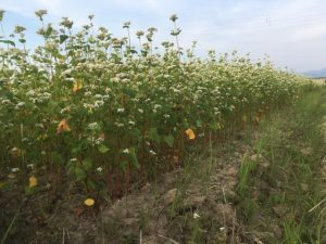 【福井夏そば2020】恵みの雨を待っているかのような満開の花。