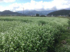 奥越前の大野市に広がる満開のそば畑では、大野在来ソバがすくすくと育っています。