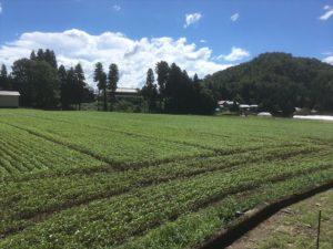 恐竜王国勝山市で秋に収穫される大野在来のそば畑。