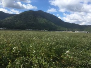 早熟すぎる大野在来種を試験的に収穫するという大野市の農家さんを尋ねてきました。