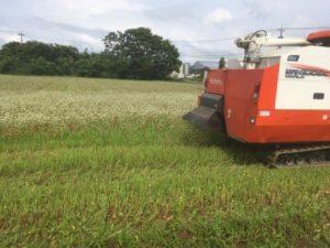 令和3年度の福井県産「夏の新そば」刈り取り始まりました。