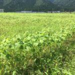 大野在来種を栽培する越前大野市の圃場。