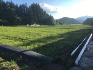 福井在来そばの播種後1か月ほど経過した勝山市の状況。