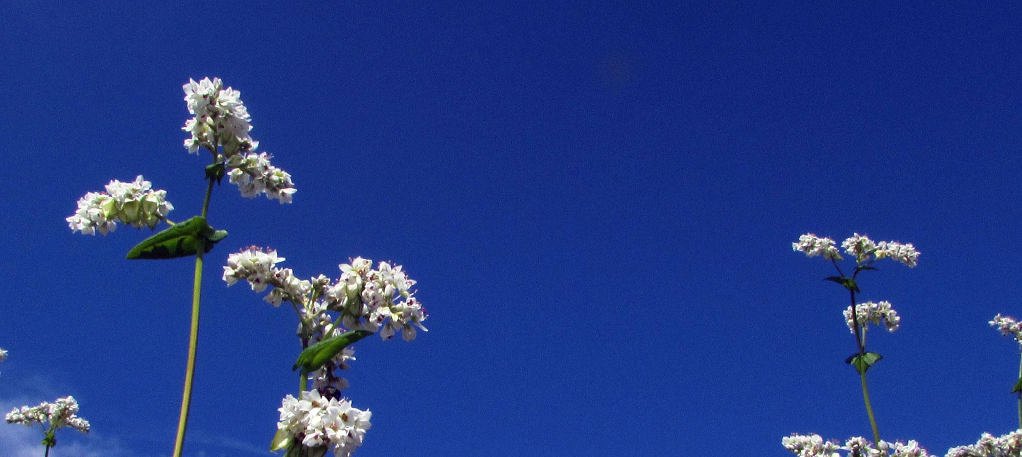 カガセイフンのそば粉は自然環境に最大限の配慮をしながら作られています