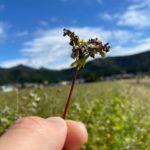 福井県南部に位置する南越前町のそば畑では、小粒で濃厚な味わいが特徴の今庄在来ソバが育っています。