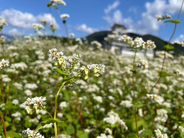 """""""大野在来種""""が育つ奥越大野市と勝山市のそば圃場は花が満開です。(2021.10.2)"""